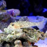 (海水魚)沖縄産 サンカクハゼ(1匹)