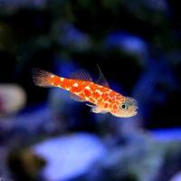 (海水魚)沖縄産 チゴベニハゼ(1匹) 北海道・九州・沖縄航空便要保温
