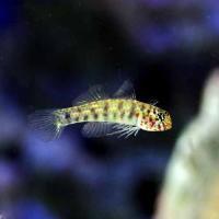(海水魚)沖縄産 ナンヨウミドリハゼ(1匹)