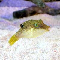 (海水魚)ヒメキンチャクフグ(1匹)