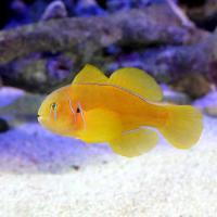(海水魚)フォーバーゴビー(1匹)