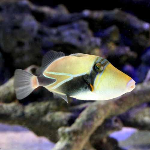 (海水魚)タスキモンガラ(1匹)