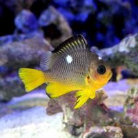 (海水魚)ゴールデンドミノダムセル(1匹)