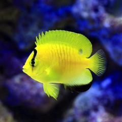 (海水魚)ヤッコ シテンヤッコ 幼魚 Sサイズ(1匹)