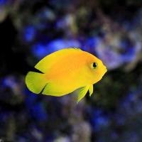 (海水魚)ヤッコ ヘラルドヤッコ Sサイズ(1匹)