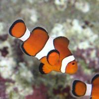 (海水魚)沖縄産 カクレクマノミ Mサイズ(ワイルド)(1匹) 北海道・九州・沖縄航空便要保温