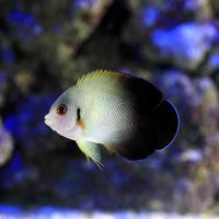 (海水魚)ヤッコ ナメラヤッコ Sサイズ(1匹)