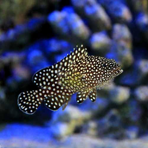 (海水魚)ナミハタ 幼魚(1匹)