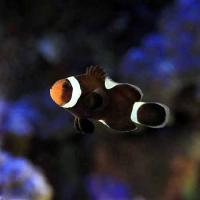 (海水魚)ブラックオセラリス イレギュラーバンド(国産ブリード)(1匹)