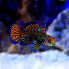 (海水魚)マンダリン オス S-Mサイズ(1匹)