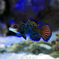 (海水魚)マンダリン メス S-Mサイズ(1匹)