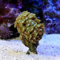 (海水魚 サンゴ)エダアワサンゴ おまかせカラー SSサイズ(1個) 北海道航空便要保温