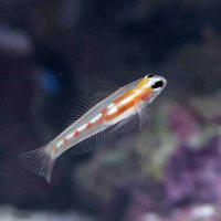 (海水魚)マスクドゴビー(1匹)