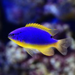 (海水魚)フィジーダムセル(1匹)