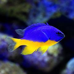 (海水魚)ロイヤルダムセル(ロイヤルデムワーゼル)(1匹)