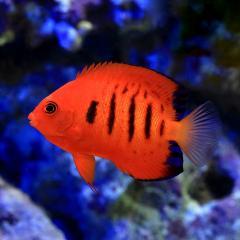 (海水魚)ヤッコ クリスマス産 フレームエンゼル(1匹) 沖縄別途送料