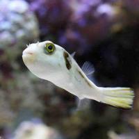 (海水魚)スジモヨウフグ(1匹)