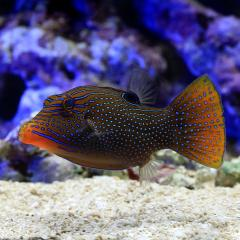 (海水魚)インドパシフィックトビー(1匹)