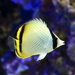 (海水魚)沖縄産 フウライチョウチョウウオ(1匹)