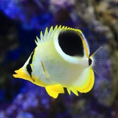 (海水魚)沖縄産 セグロチョウチョウウオ(1匹)