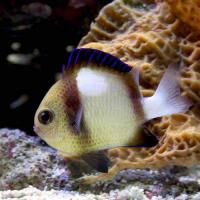 (海水魚)インディアンダッシラス(1匹)