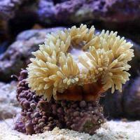 (海水魚)おまかせクマノミ ベッド イソギンチャク(1匹)無脊椎動物
