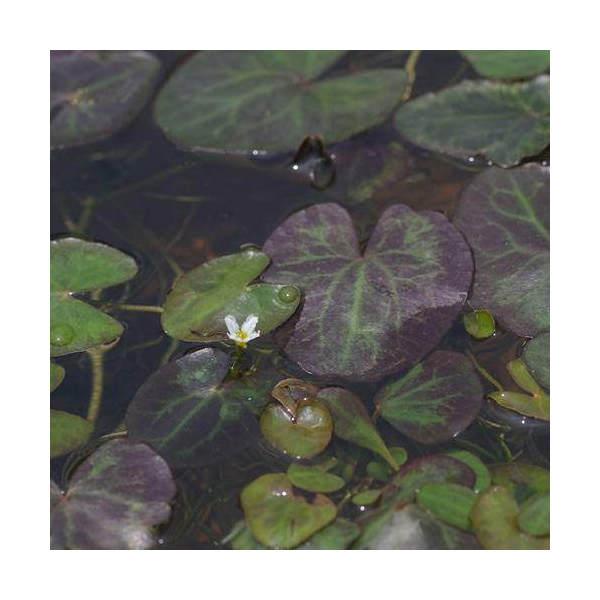 (ビオトープ/水辺植物)ヒメシロアサザ(1ポット)