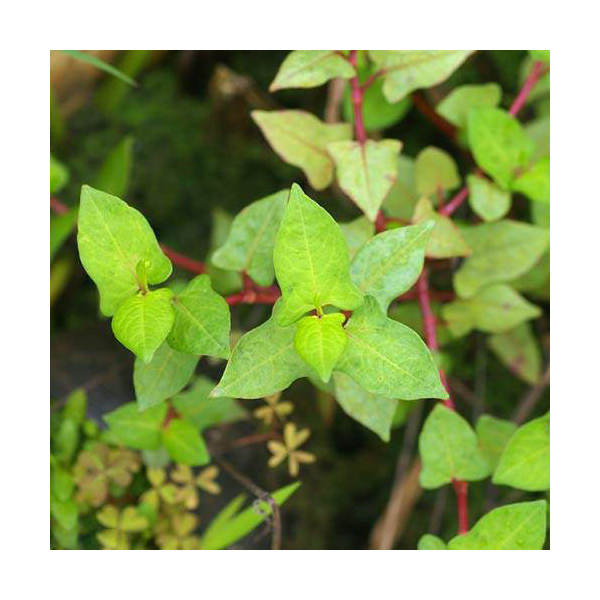 (ビオトープ/水辺植物)ミゾソバ(1ポット)