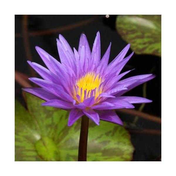 (ビオトープ/睡蓮)熱帯性睡蓮(スイレン)(青紫) スター オブ ザンジバル(1ポット)(休眠株)