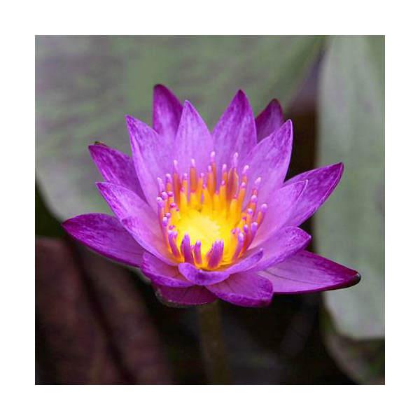 (ビオトープ/睡蓮)熱帯性睡蓮(スイレン)(紫) インター・パープル(1ポット)