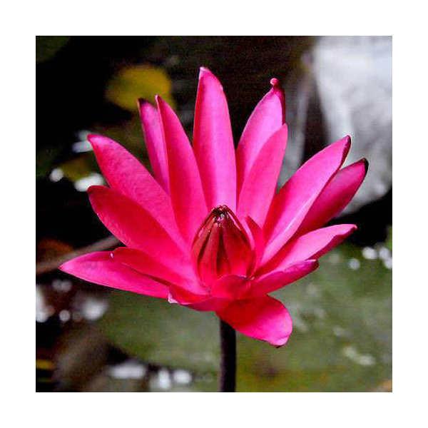 (ビオトープ/睡蓮)熱帯性睡蓮(スイレン)夜咲き(赤) レッド カップ(1ポット)(休眠株)