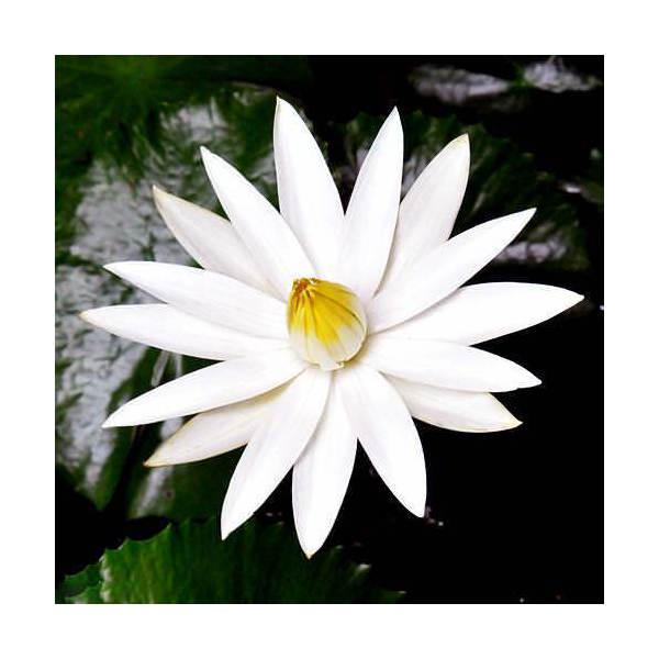 (ビオトープ/睡蓮)熱帯性睡蓮(スイレン)夜咲き(白) ジュノ(1ポット)