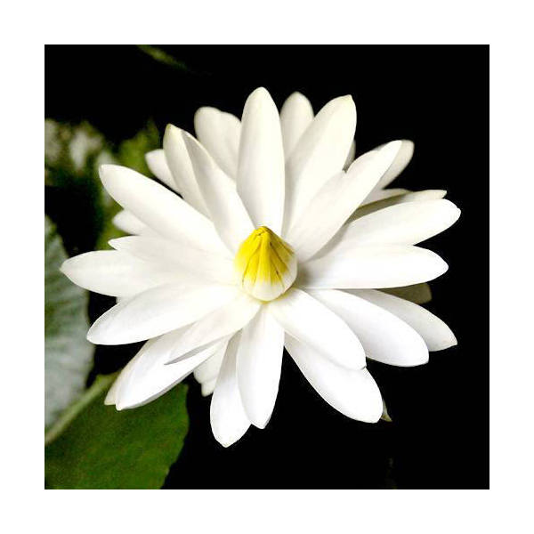 (ビオトープ)睡蓮 熱帯性睡蓮(スイレン)夜咲き(白) トルディ スローカム(1ポット)(休眠株)