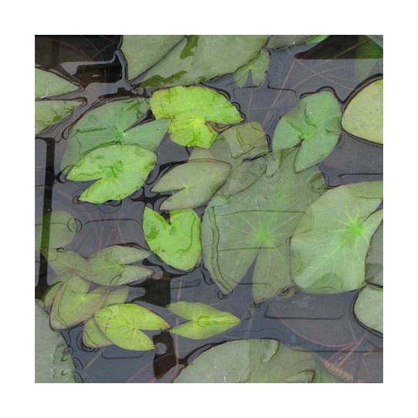 (ビオトープ/睡蓮)熱帯性睡蓮(スイレン)夜咲き(白) ウッズ ホワイト ナイト(1ポット)(休眠株)