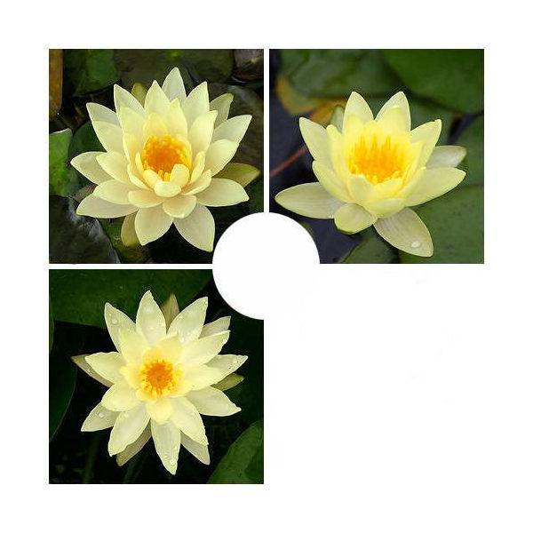 (ビオトープ/睡蓮)おまかせ温帯性品種睡蓮(スイレン) 黄系色 1種(1ポット)