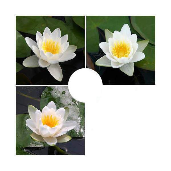 (ビオトープ/睡蓮)おまかせ温帯性品種睡蓮(スイレン) 白系色 1種(1ポット)