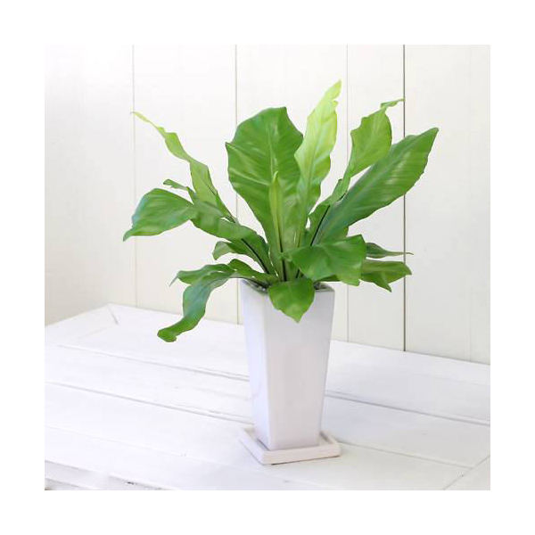 (観葉植物)シダ アスプレニウム アビス 陶器鉢植え タワーS WH(1鉢) 受け皿付き