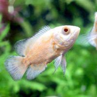 (熱帯魚)アルビノレッドオスカー(1匹) 北海道・九州航空便要保温
