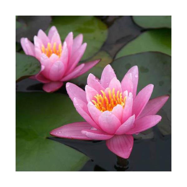 (ビオトープ/睡蓮)温帯性睡蓮(スイレン)(桃) ピンク・センセーション Pink SenSation (1ポット)
