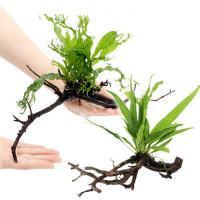 (水草)おまかせミクロソリウム付 枝状流木 Mサイズ(無農薬)(1本)(約20cm~)(無農薬)(1本)