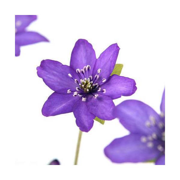 (山野草)ユキワリソウ(雪割草) 紫花 標準花 3号( 3ポットセット)