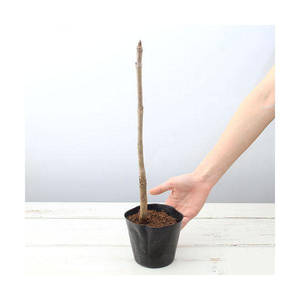 (山野草/盆栽/庭木)山菜 トゲなしタラノキ 苗木(1本) 家庭菜園