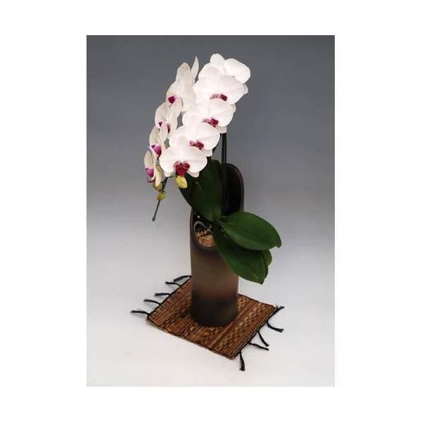 (観葉植物)生産者直送 胡蝶蘭 大輪赤リップ かぐや 別途送料