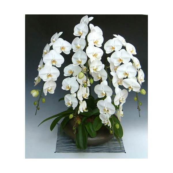 (観葉植物)生産者直送 胡蝶蘭 和鉢まどか 大輪系白 別途送料 北海道冬期発送不可