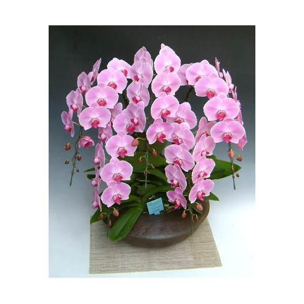 (観葉植物)生産者直送 胡蝶蘭 和鉢まどか 大輪系ピンク 別途送料 北海道冬期発送不可