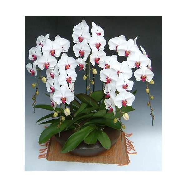(観葉植物)生産者直送 胡蝶蘭 和鉢まどか 大輪系赤リップ 別途送料