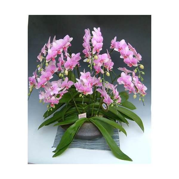 (観葉植物)生産者直送 胡蝶蘭 和鉢まどか スーパーマーメイド 別途送料