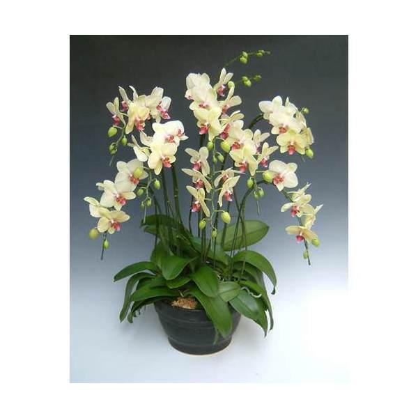 (観葉植物)生産者直送 胡蝶蘭 黄色系(8本)以上を保障 別途送料
