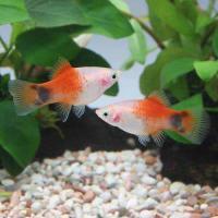 (熱帯魚)レッドトップホワイト・ミッキーマウスプラティ(4匹) 北海道・九州航空便要保温