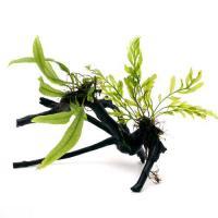 (水草)ボルビティス&ミクロソリウム付 枝状流木 Sサイズ(約10cm~)(無農薬)(1本)